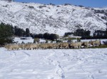 Taiaroa Cow photo snow.jpg